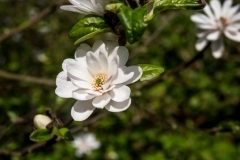 Berville-en-Roumois, Magnolia